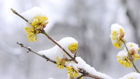 Snow falls on beautiful yellow Cornelian cherry. Cornus mas. Snow falling on snowy Cornelian cherry twig with beautiful yellow flowers gently swaying blown by stock footage