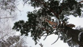 Snow falls from a branch of a huge pine tree. bottom up view.  stock video