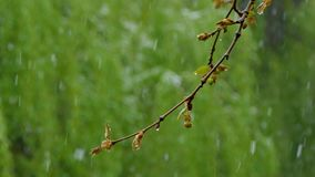 Snow falls on a branch with young buds. On a branch with young buds, snow and rain are falling on the background of greenery stock video footage