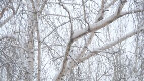Snow falls on the branches of birch covered with snow