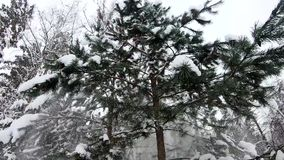 Snow falls from the branches of fir trees. Beautiful slow motion from the winter spruce forest. stock footage