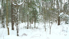 Snow falls from the branches in forest. stock video footage