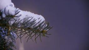 Snow Falls From Dark Winter Sky On Snowcapped Fir Tree. Christmas spirit concept. City Lamp Shine Background stock video