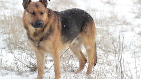 Snow falls on the dog stock video footage