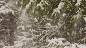 Snow falls from fir tree branch. 4K stock footage