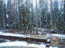 Snow falls in the forest with trees. Intense snow instantly covers the surface of the forest and tree branches with a layer of sno. W. Details and close-up of stock images