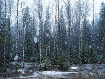 Snow falls in the forest with trees. Intense snow instantly covers the surface of the forest and tree branches with a layer of sno. W. Details and close-up of royalty free stock images