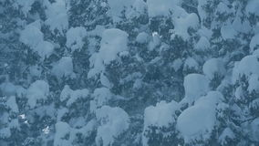 Snow falls from green pines threes, snowflakes dancing in slow motion stock video footage