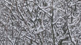 Snow Falls - Heavy Snowstorm - Winter Scene. Blizzard covered trees by snow.n stock video