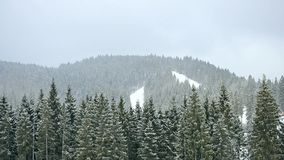 Snow falls in mountains on background of green fir tree forest stock video