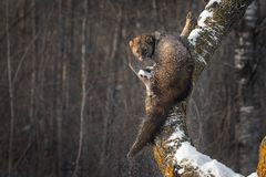 Snow Falls Off Fisher`s Martes pennanti Back. Captive animal royalty free stock photo