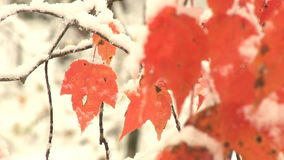 Snow falls by orange leaves. Video of snow falls by orange leaves stock video