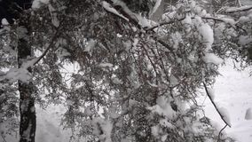 Snow Falls From Spruce Slow Motion stock video footage