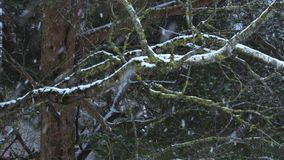 Snow falls on the trees. In winter day stock video footage