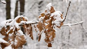 Snow falls in winter on dry foliage of English oak. Quercus robur. Snow falling in winter on old dry brown foliage of English oak on blurred white background stock footage