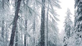 Snow Falls In Winter Forest. Tall snow-covered trees in forest with snow falling stock video footage