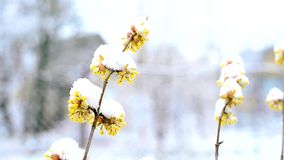 Snow falls in winter or spring on snowy Cornelian cherry twigs with flowers stock video