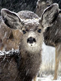 Snow Fawn. Young mule deer in a Colorado snowstorm Royalty Free Stock Photography