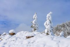 Snow field on top of mountain slope with frosty pine trees on the background of taiga forest and hills under blue sky Stock Photography