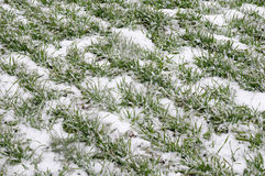 Snow field with wheat in winter royalty free stock photography