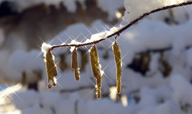 Snow on  a filbert branch. Picture of a Snow on  a filbert branch Stock Photography
