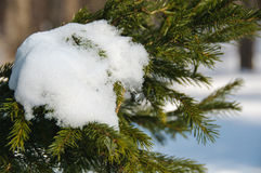 Snow on a fir branch Stock Photo