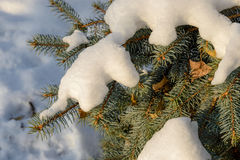 Snow on a Fir Branch Royalty Free Stock Photography