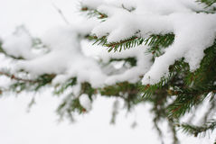 Snow on fir branch Royalty Free Stock Photo