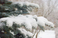 Snow on fir branches Stock Photos