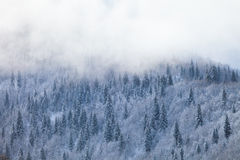 Snow fir forest on mountain slope Stock Image