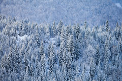 Snow fir forest on mountain slope Royalty Free Stock Photo