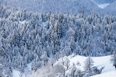 Snow fir forest on mountain slope Stock Photography
