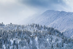 Snow fir forest on mountain slope Royalty Free Stock Images