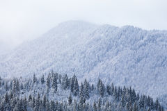 Snow fir forest on mountain slope in mist Royalty Free Stock Photography