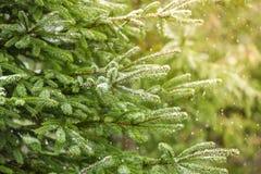 Snow Fir Tree Branches Under Snowfall. Stock Photos