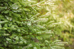 Snow fir tree branches under snowfall. Stock Photos