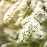 Snow fir tree branches under snowfall. Royalty Free Stock Photography