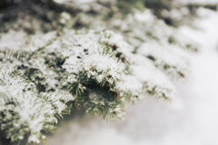 Snow on the fir-tree branches in winter Stock Photography