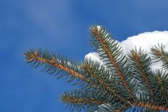 Snow on fir tree close-up 3 Royalty Free Stock Photography