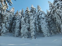 Snow fir trees Royalty Free Stock Photography