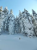 Snow fir trees Royalty Free Stock Images