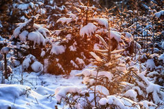 Snow on fir in winter Royalty Free Stock Photo