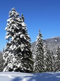 Snow on firs Stock Photo