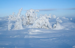 Snow firs. Cold northern winter in the mountains, a landscape with natural snow sculptures Stock Image
