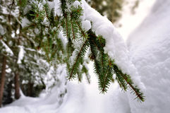 Snow on firs Royalty Free Stock Images
