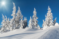 Snow firs under the sun Stock Image