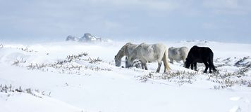 Snow scenery with ponies in Dartmoor National Park Stock Images