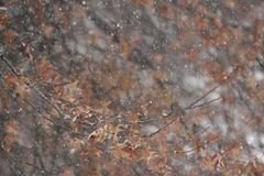 Snow flakes falling on orange autumn leaves. Photo of a snowfall in late autumn. This shows the snow flakes falling near some orange oak leaves left on the tree royalty free stock photo