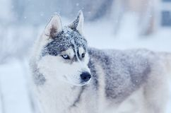 Snow flakes on the head siberian husky dog in winter blizzard outdoor stock image