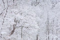 Snow Flocked Trees Royalty Free Stock Photo